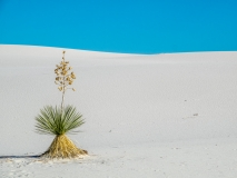Plant at White sands national monument US