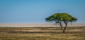 Lonely tree near salt pans of Namibia