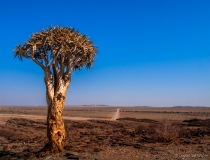 Lonely tree in the desert, Namibia