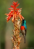 Sunbird within flower, South-Africa