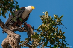 African fish eagle with fish, Botswana