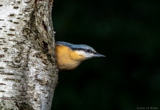 Nuthatch on side of tree, Netherlands