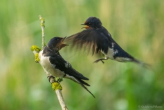 Fighting Swallows 1, Netherlands