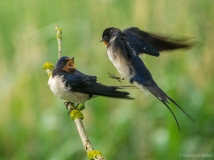 Fighting swallows 2, Netherlands