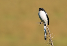 Swallow, South-Africa