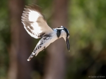 Pied kingfisher in the air, South-Africa