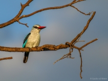 Woodland kingfisher on branch, South-Africa