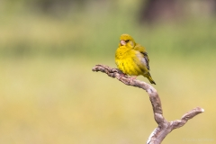 Yellow canarie on branch, Spain