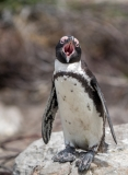 African Penguin, South-Africa