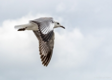 Flying gull, South-Africa