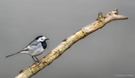 Wagtail on branch, Netherlands