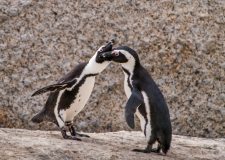 Penguins feeding each other, Sout-Africa