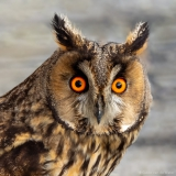 Long eared owl close up