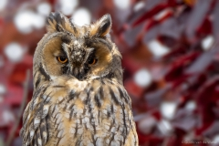 Long-eared Owl close up
