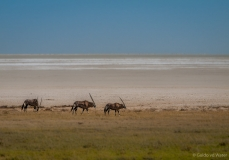 Oryx on edge of saltpan, Namibia