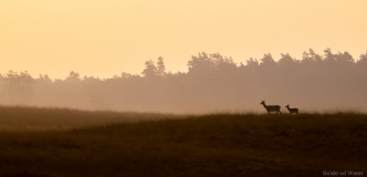 Silouet of red deer during sunrise, Netherlands