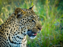 Leopard close up, South-Africa