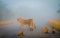 Lion family in the middle of fog cloud, South-Africa