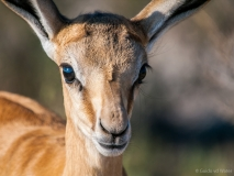 Springbok close up, Namibia