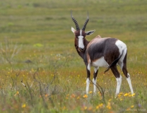 Bontebok, South-Africa