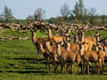 Group of Red deer, Netherlands