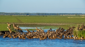 Red deer climbing out of the water, Netherlands