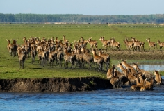Red deer climbing out of the water left side, Netherlands