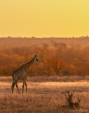 Giraffe during the golden hour, South-Africa