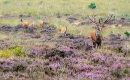 Red deer male with 3 female, Netherlands
