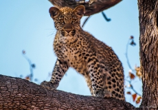Leopard standing in tree, South-Africa