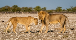 Lion couple standing, Namibia