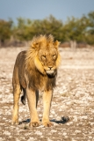 Lion male standing, Namibia