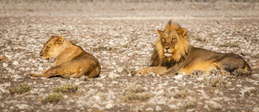 Lion couple laying down, Namibia