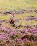 Red deer male on Veluwe, Netherlands
