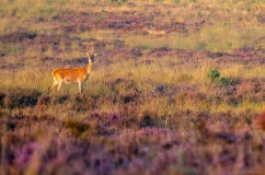 Red deer female on Veluwe, Netherlands