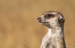 Meerkat close up, Botswana