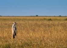 Meerkat on empty land, Botswana
