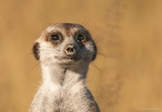 Meerkat close up front, Botswana