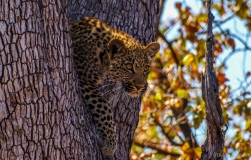 Leopard on side of tree, South-Africa