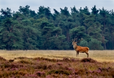 Red deer male on lookout, Netherlands
