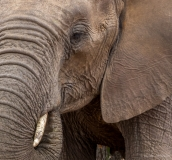 Elephant close up, South-Africa