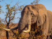 Elephant with latge tusk, South-Africa