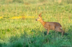 Roe deer in the shadows, Netherlands