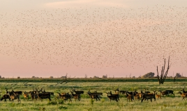 Red deer and sparrows during sunset, Netherlands