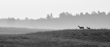 Red deer on hill black and white, Netherlands