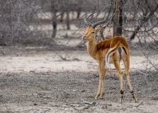 Impala in dusty surrounding, South-Africa