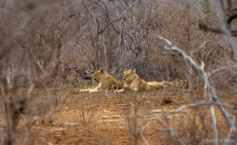 Look trough at lion family, South-Africa