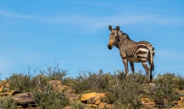 Zebra on mountain top, South-Africa