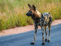 Wild dog, South-Africa