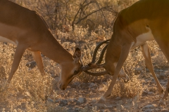 Impala's in a fight